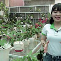 Tác dụng và cách chăm sóc cây Sung Mỹ trồng trong chậu ra HOA kết TRÁI quanh năm (#CSM)