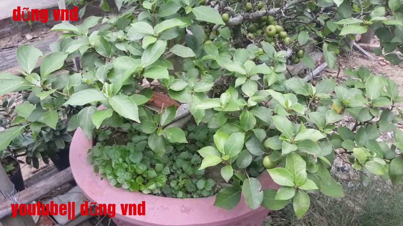 Tác phẩm sung mini siêu quả..   cây cảnh nghệ thuật bonsai mini
