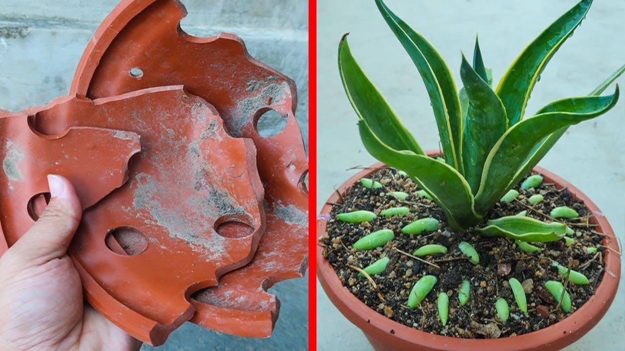 Tái chế chậu vỡ để trồng cây và ươm sen đá chuỗi ngọc của Khu Vườn Nhỏ