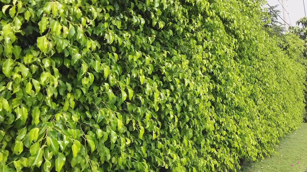 Tường cây xanh cổng rào cao 2m