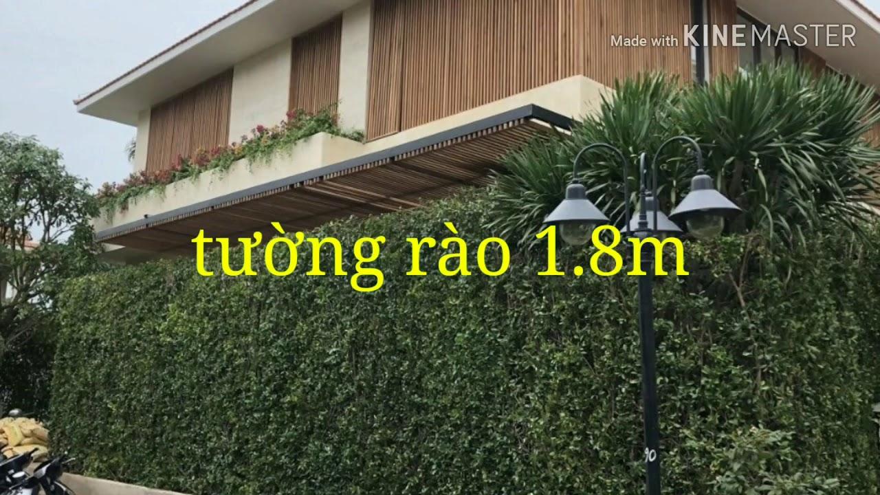 Tường rào xanh. Hàng rào cây xanh. ngôi nhà xanh Tel 0966703075