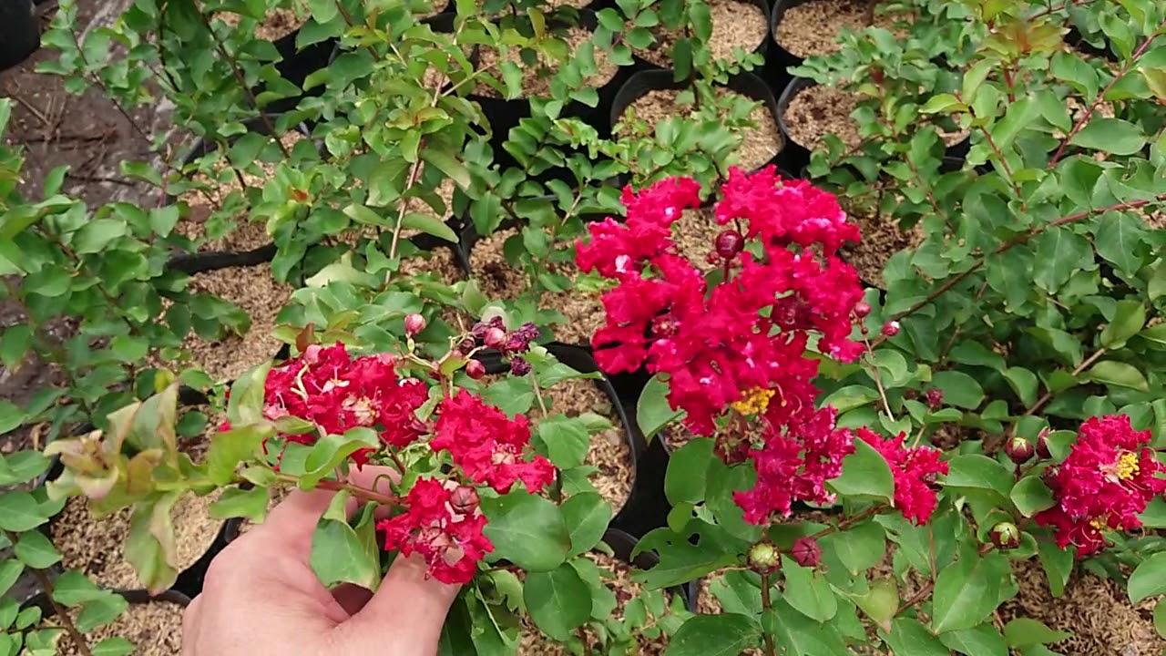 Tường vi hoa đỏ lá xanh rất đẹp 0918708965