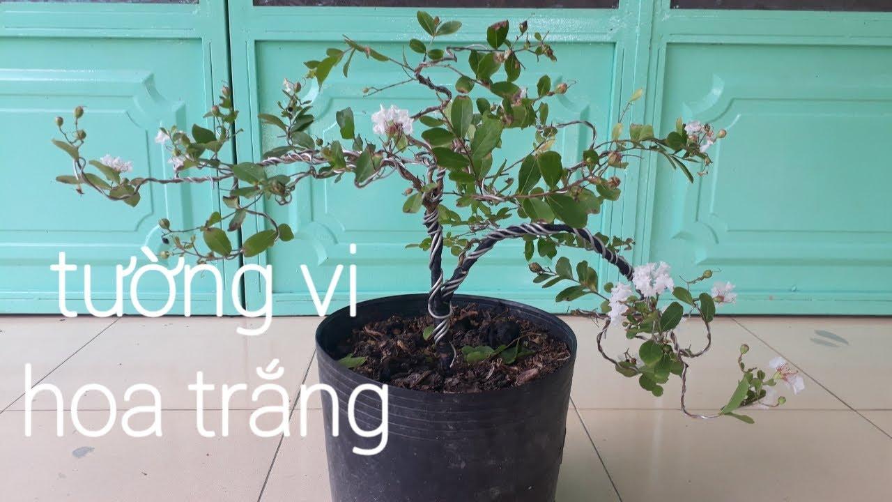 Tạo dáng bonsai cây tường vi hoa trắng