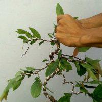 Tạo dáng, uốn định hình , cho cây mai vàng bonsai mini để bàn trà