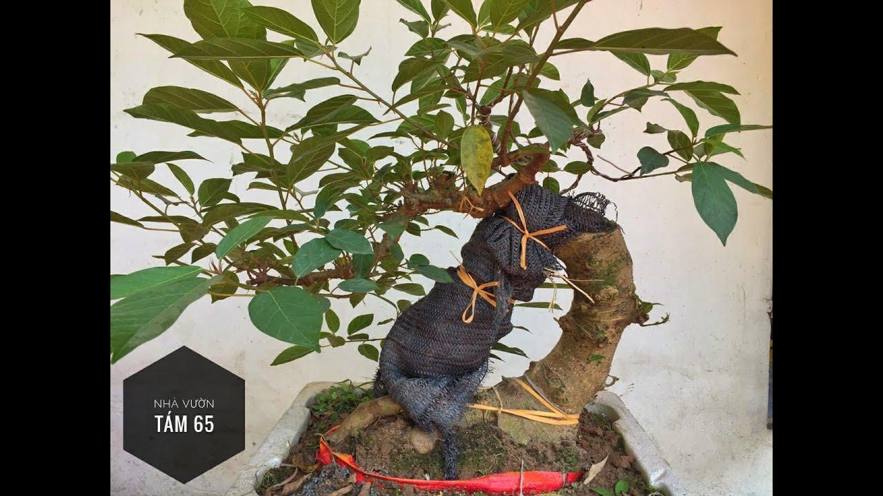Tạo rễ buông cho cây Sung dáng lão!
