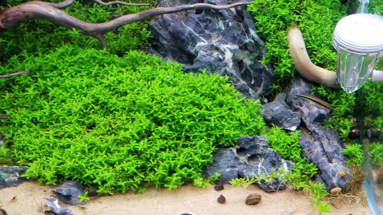Từ 3 ngọn liễu răng cưa đã bò full cây trong bể thủy sinh 120 ngày tuổi