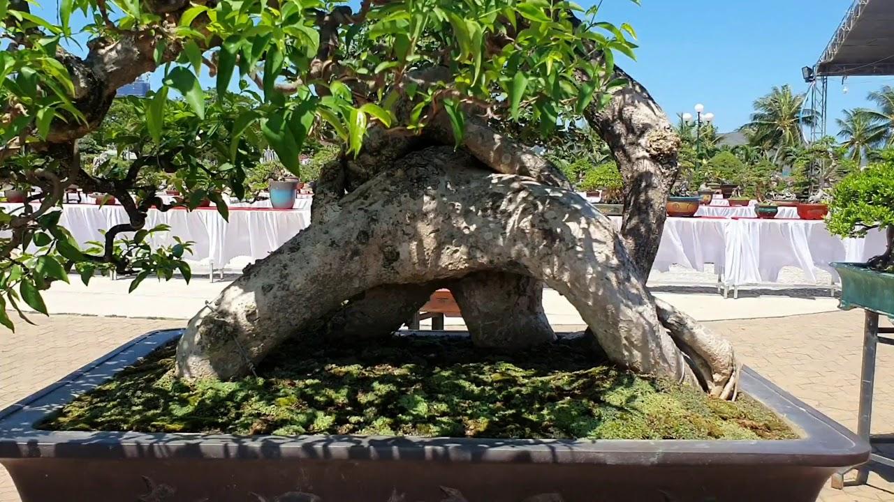TXT #5 TRIỂN LÃM CÂY CẢNH.NGHỆ THUẬT BONSAI TẠI QUY NHƠN TẬP 5- EXHIBITION OF BONSAI TREES.
