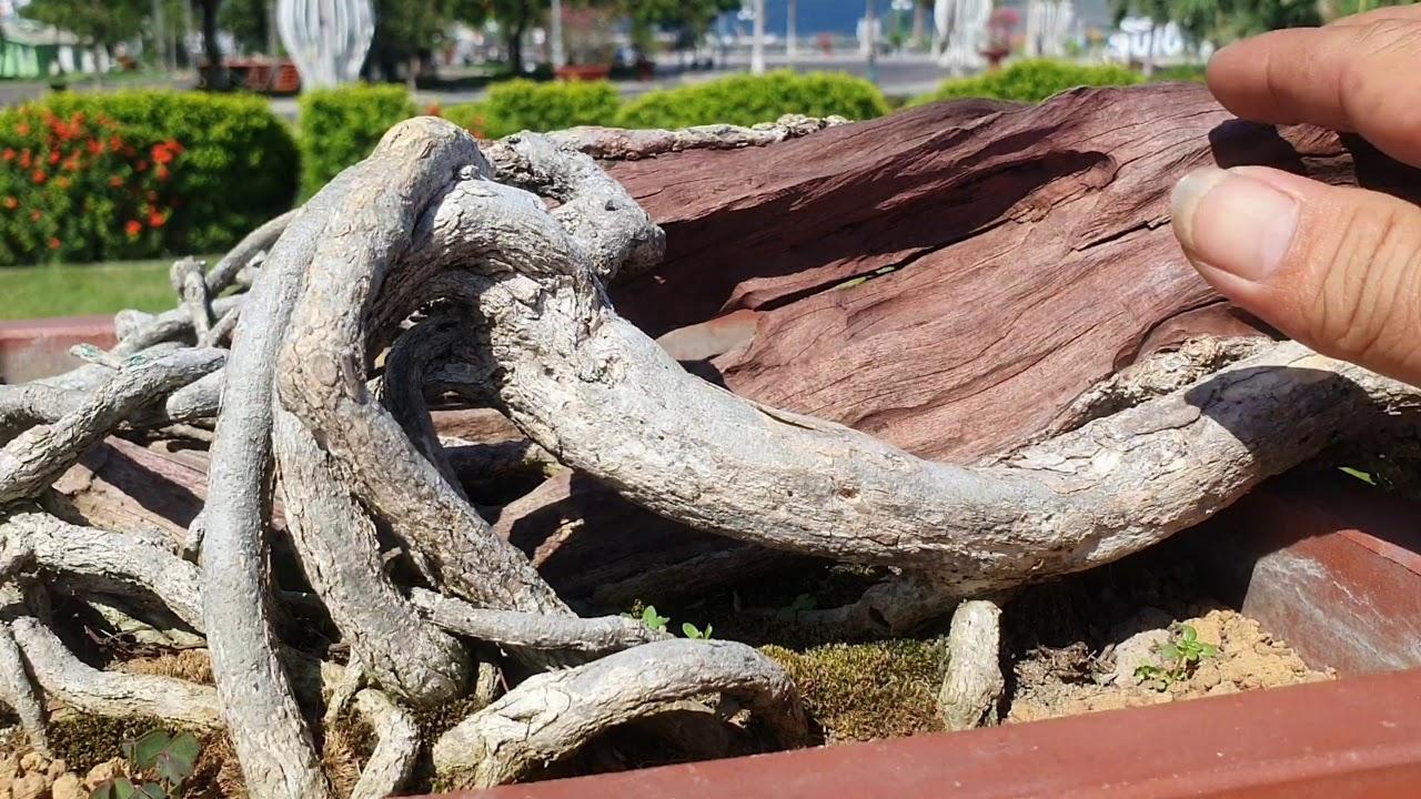 TXT #8 TRIỂN LÃM CÂY CẢNH. NGHỆ THUẬT BONSAI TẠI QUY NHƠN TẬP 8- EXHIBITION OF BONSAI PLANT.