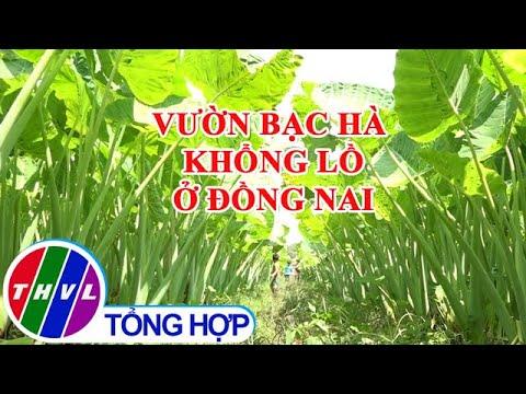 Thích thú với vườn bạc hà khổng lồ ở Đồng Nai