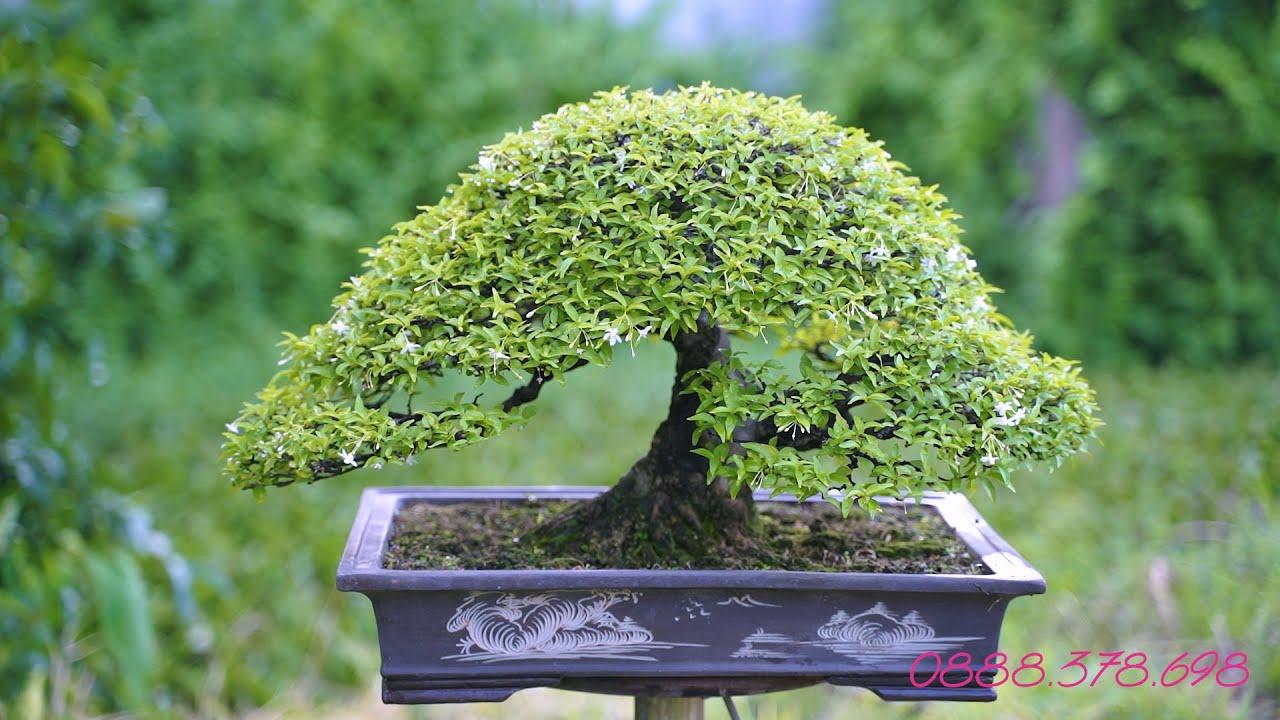 Thọ Bonsai - Cây 90 đã bán - Mai Chiếu Thủy Lá Trung đẹp ngây ngất