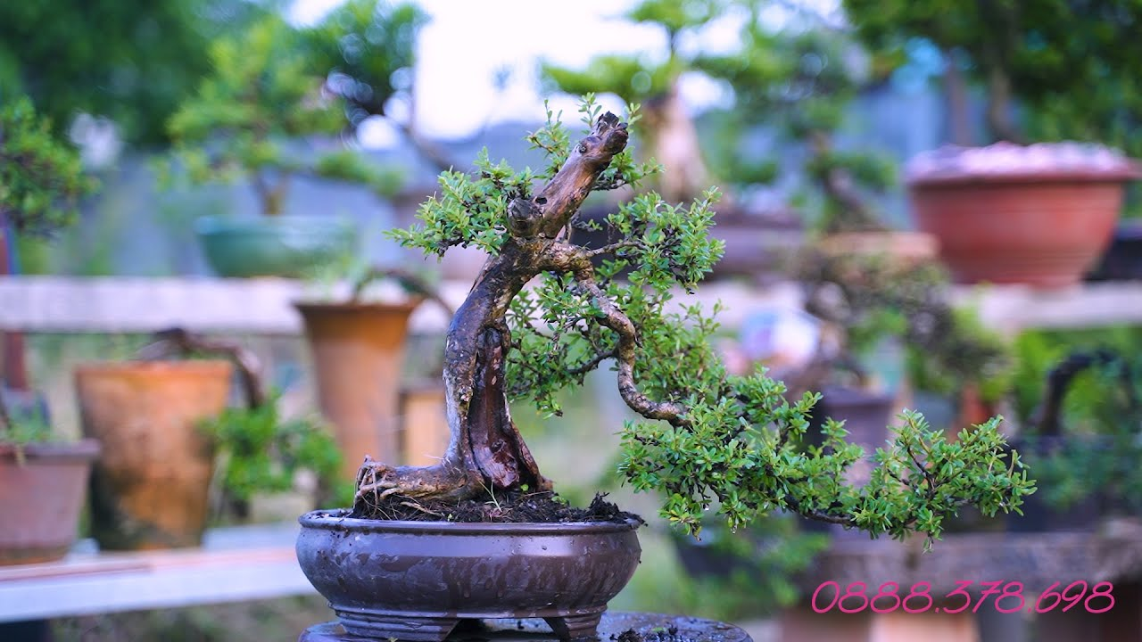 Thọ Bonsai - Phôi 97 ĐÃ BÁN - Ba cây Linh Sam 86 lũa thép
