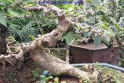 Theo anh em đam mê cây cảnh, Bonsai nghệ thuật cây hoa giấy này 10 triệu có nên mua không