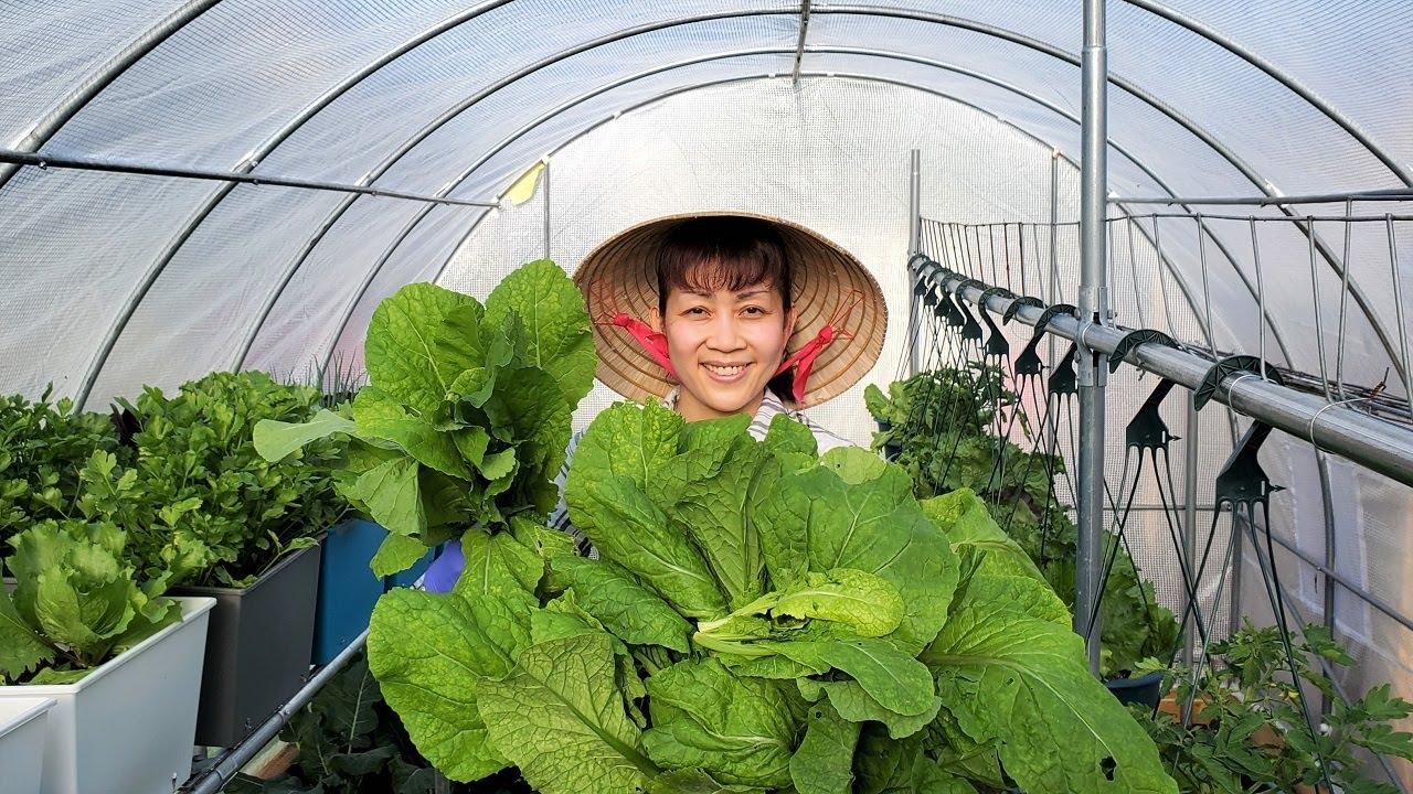 Thu hoạch cải xanh, tủ gốc giữ ẩm cho cây. Trồng dưa lưới, dưa mật, cải cầu vòng ??552》Vườn Rau Việt