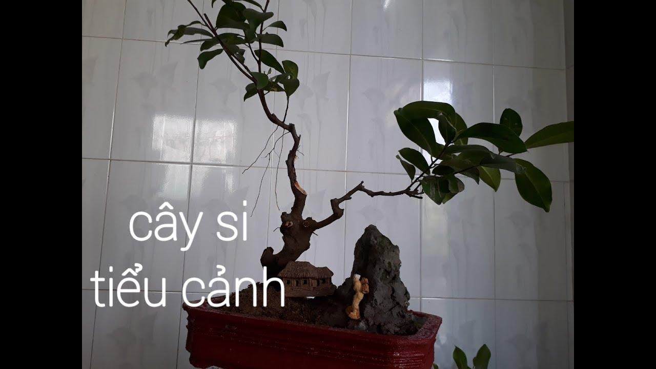 Tiểu cảnh cây si bonsai