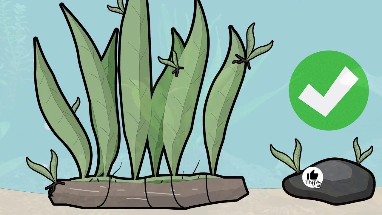 Top 12 Loại Cây Thủy Sinh Tốt Nhất Cho Bể Cá Cảnh | Cá Cảnh | Coi Là Ghiền