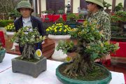 Top 12 bonsai mini cực đẹp triển lãm cây cảnh nghệ thuật Văn Giang