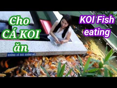 Trải nghiệm cho cá Koi ăn | Thức ăn cho cá Koi | Koi fish eating