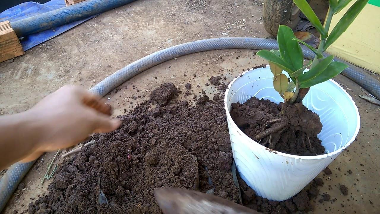 Trồng cây kim tiền vào chậu, chăm sóc cây cảnh sau Tết