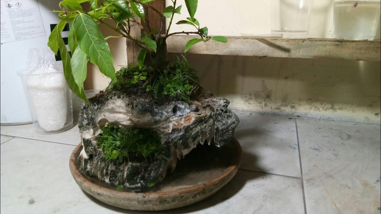 Trồng cây sung trên chậu làm từ đá san hô.