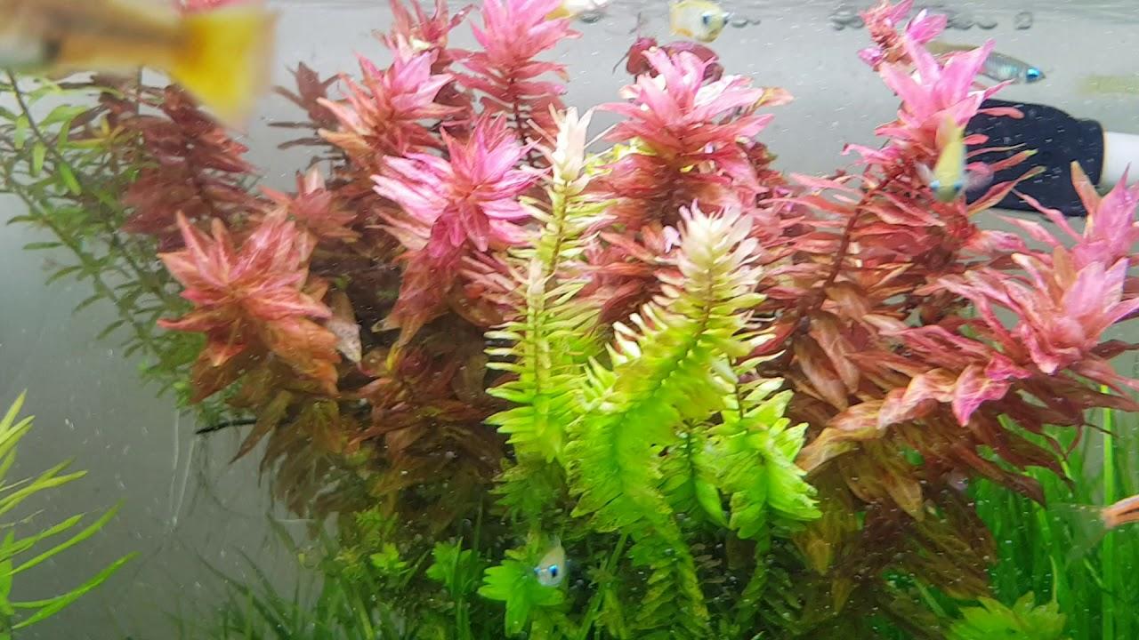 Trồng cây thủy sinh màu đỏ thật dễ dàng