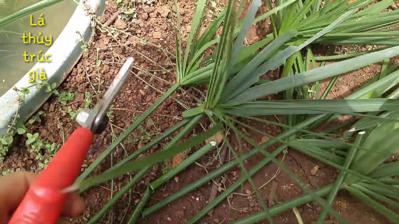 Trồng cây thủy trúc từ lá