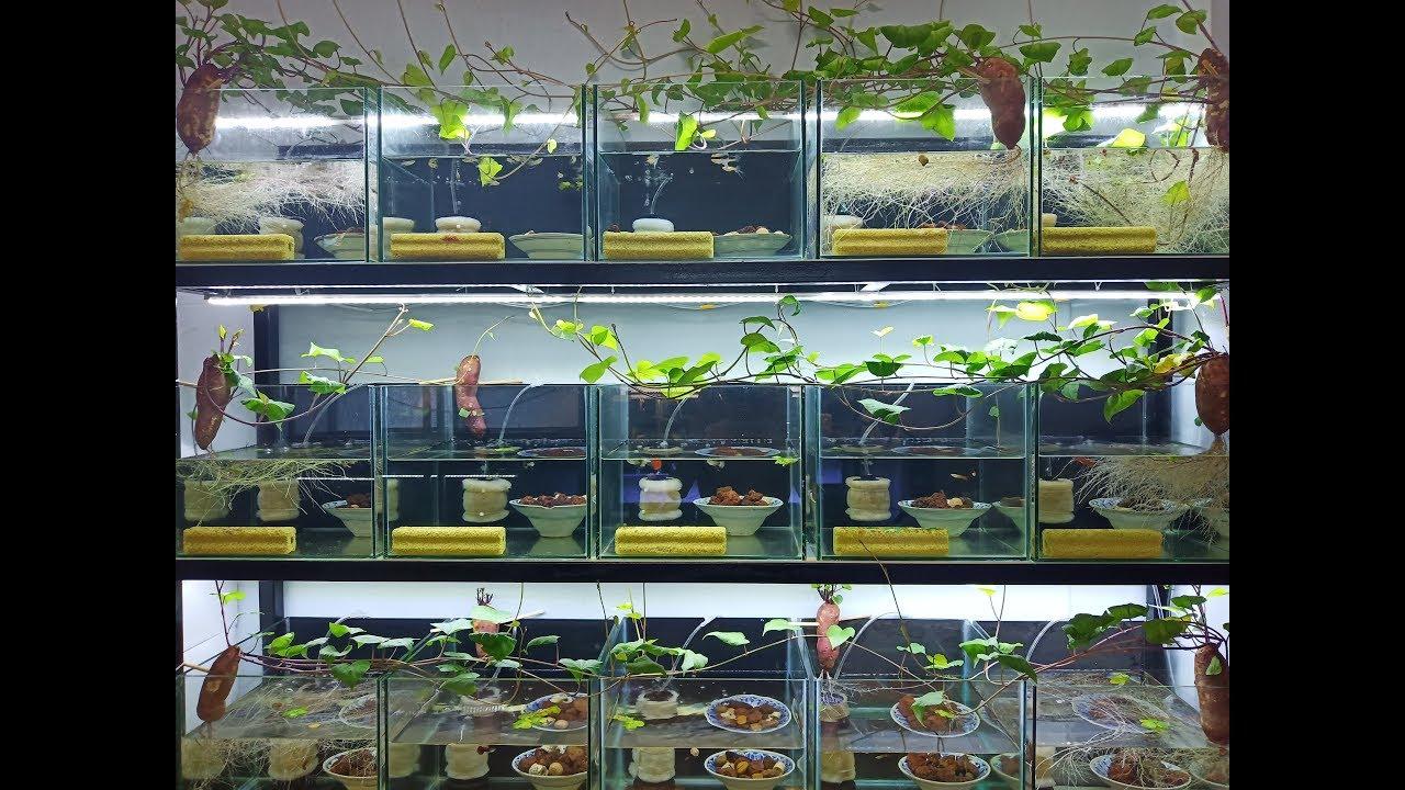 Trồng cây thuỷ sinh với giá 2 ngàn đồng/Cách trồng khoai lang vào nước|MrMén TV!