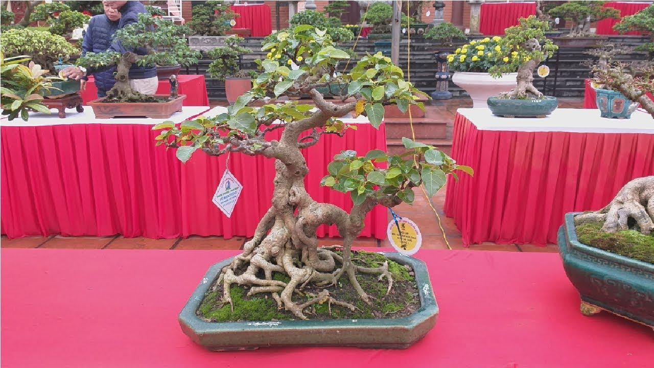 Triển lãm bonsai mini đẳng cấp tại Văn Giang Hưng Yên P2 | QH 37