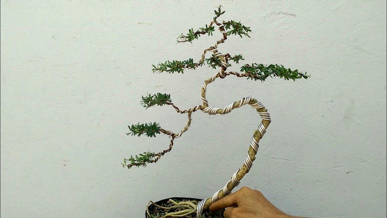 Uốn Tạo dáng cho cây bonsai mini, dáng văn nhân...