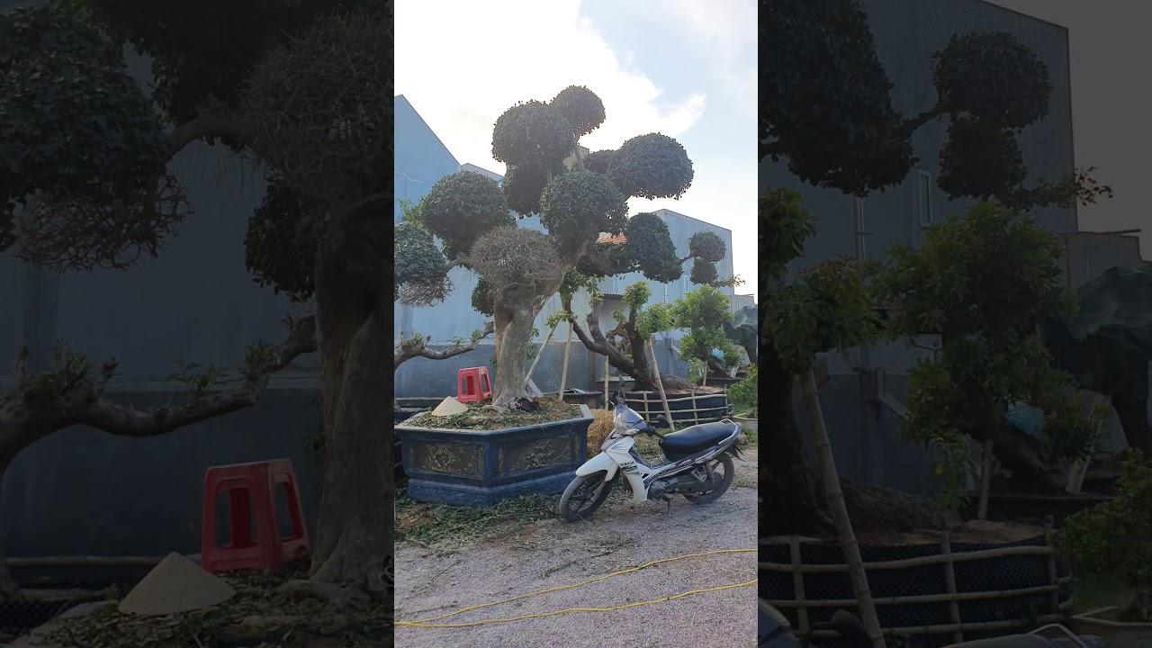 Vườn cây Cảnh Toàn Nguyễn cầu bà Di 0937878999