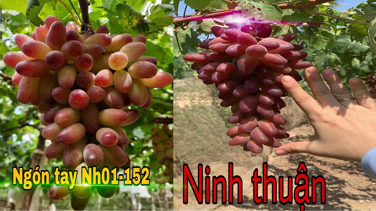 Vườn nho ngón tay NH01-152 cực khủng tại Ninh Thuận .