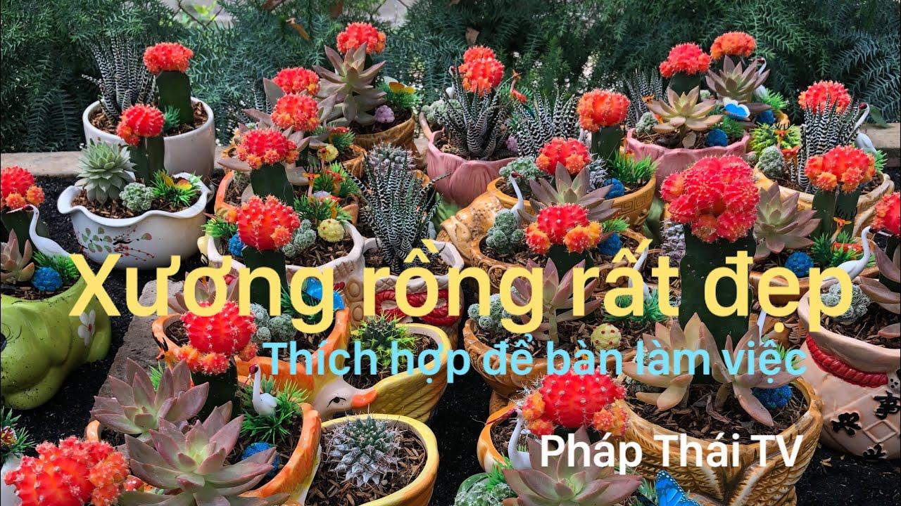 Vườn xương rồng trổ hoa rất đẹp rất nhiều loài được nhập khẩu từ nước ngoài.