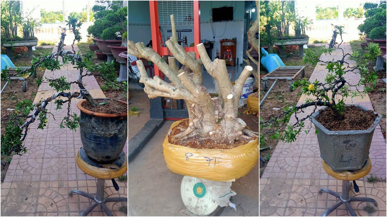 Vạn Hoa Lầu, Bông Trang, Hoa Dâm Bụt GL ngày 19/5   Kiệt Bình Thủy