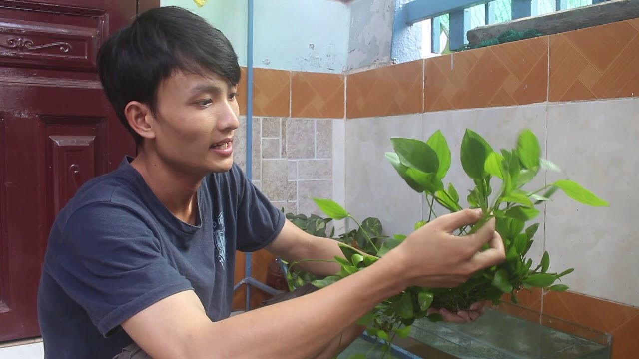 Vẻ đẹp của cây LAN NƯỚC ( Lưỡi mác )_ Vlogs học thủy sinh 1