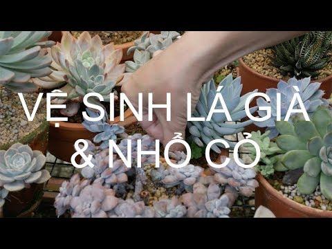 Vệ sinh lá già và nhổ cỏ cho sen đá | www.vuonsenda.vn