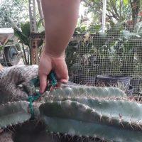 XƯƠNG RỒNG | Cách trồng xương rồng gai siêu khủng