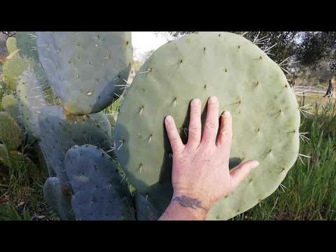 Xương Rồng Tai Voi Khổng Lồ ( Giant robusta cactus )