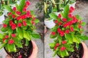 🌺🌺 Xương rồng bát tiên, bông đỏ đẹp lắm nha cả nhà (60k) - Cây phong thủy