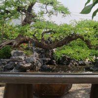 bonsai đẹp được trưng bày làm tiểu cảnh đẳng cấp tại Bến Lức @cây cảnh miền tây