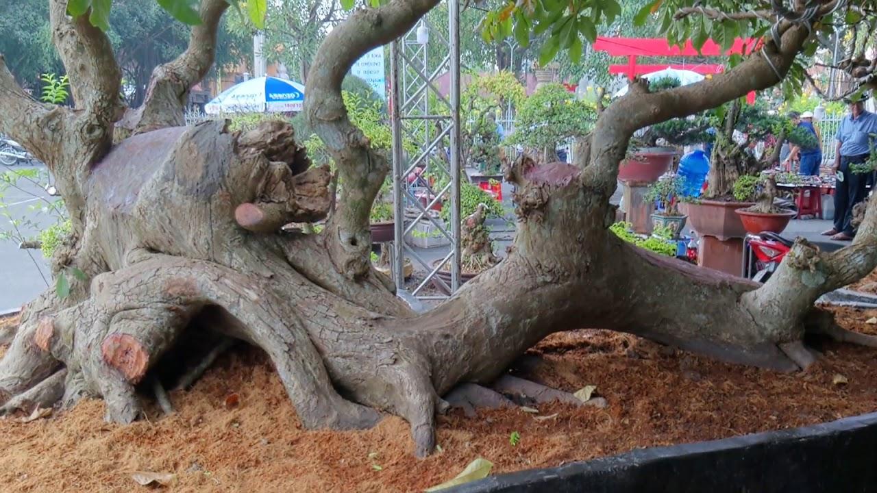 bonsai đẹp tại triển lãm cây cảnh Châu Á@cây cảnh miền tây
