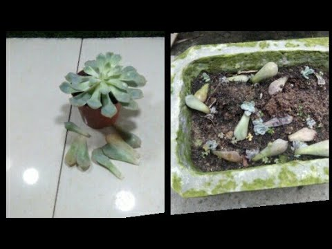cách nhân giống sen đá từ Lá Chi tiết nhất-How to multiply stone lotus from Leaf Most detailed