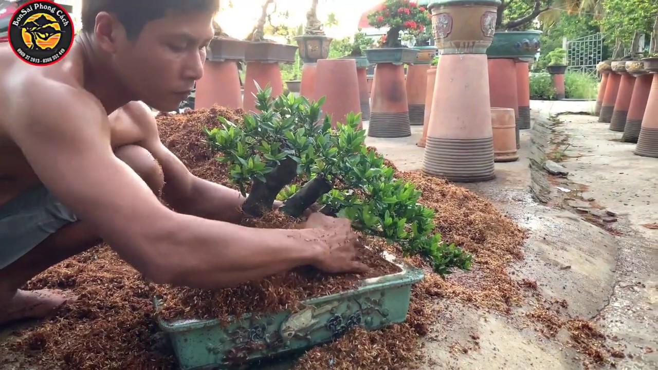 cách thay chậu cây trang bonsai (mẫu đơn) hiệu quả nhất   care bonsai   BsPc