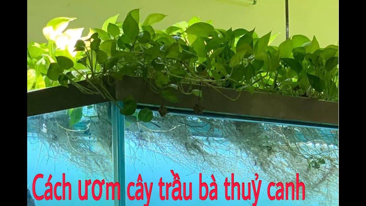 cách trồng cây trầu bà thuỷ canh cực dể #QuangAquarium