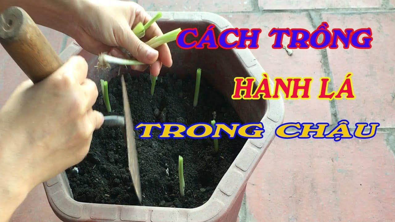cách trồng hành lá trong chậu