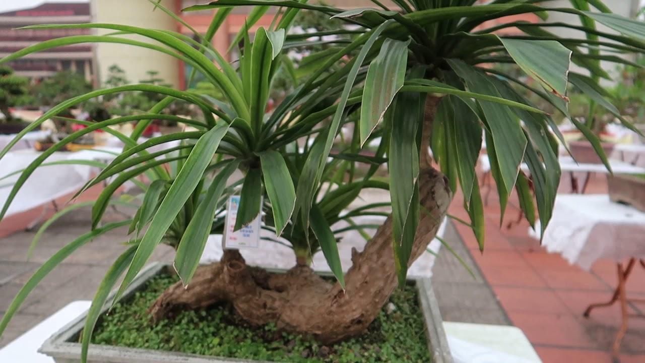 cây bonsai đại lộc, cây cảnh nghệ thuật việt nam, dang tien thuy