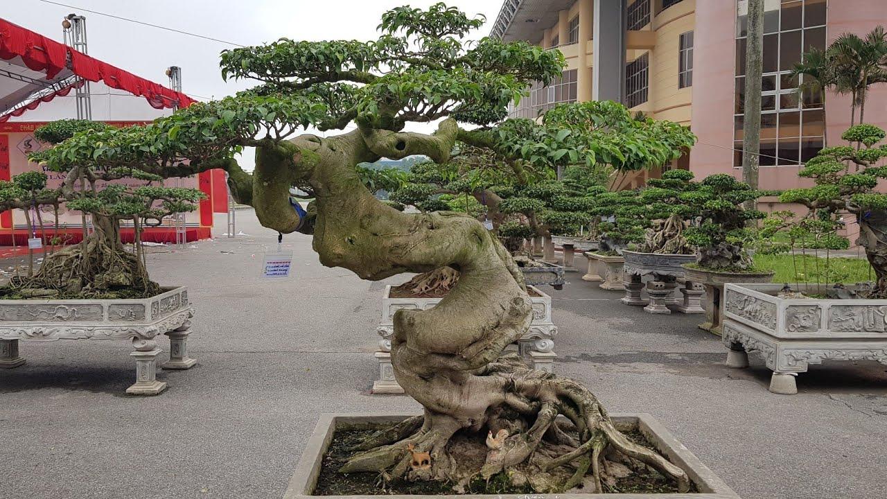cây cảnh nghệ thuật hội tụ tại triển lãm Ninh Bình  bonsai art convergence