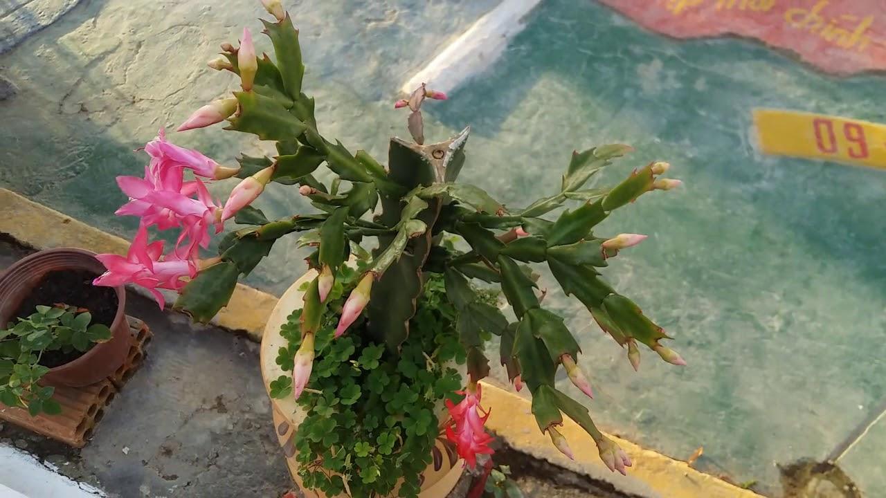 cây xương rồng nở hoa đẹp hơn bạn nghỉ