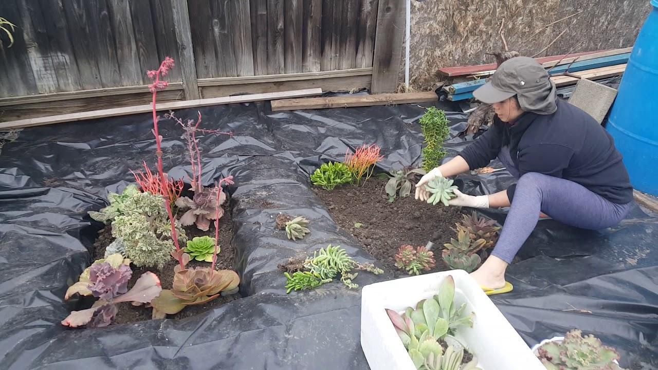 chia sẻ cách trồng sen đá
