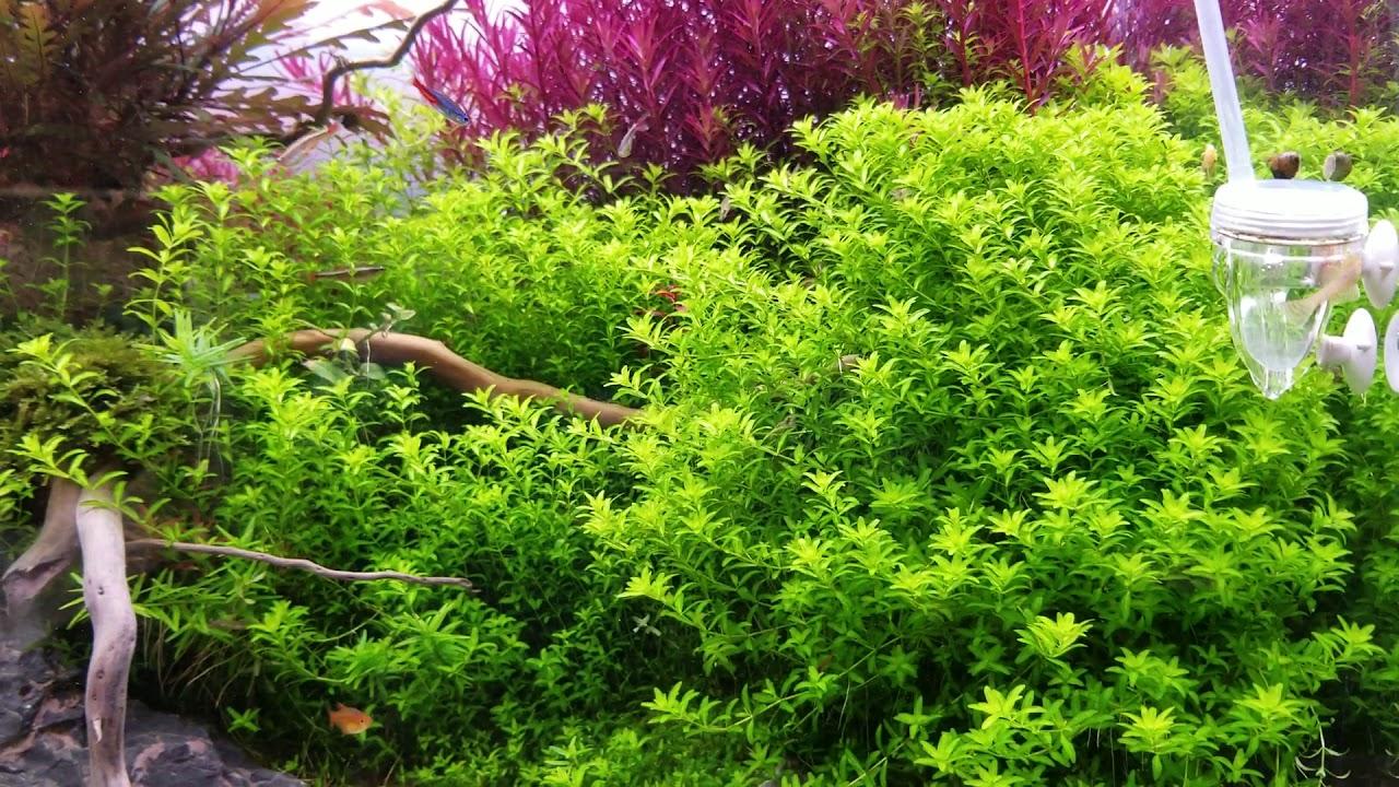 giới thiệu cây trân châu 3 lá và rotala colorata siêu đỏ trong thủy sinh