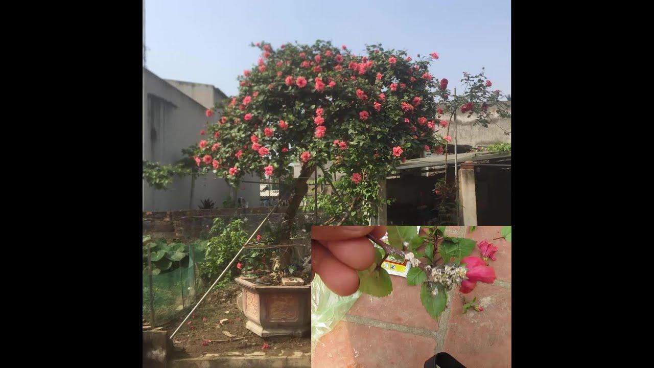 kỹ thuật kích hoa dâm bụt trên chậu ra nhiều hoa và trị dệp hiệu quả 100%