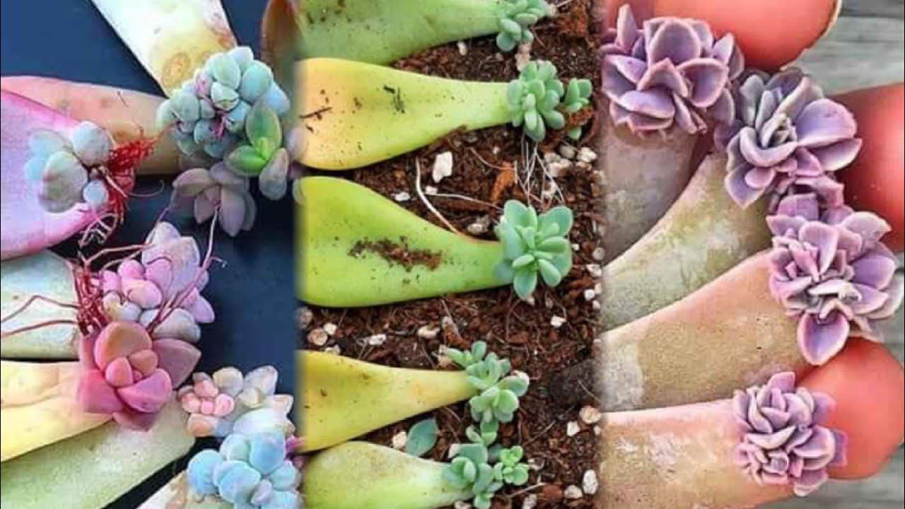 nhân giống sen đá bằng lá_Hướng dẫn nhân giống sen đá bằng lá_how to multiply stone lotus with leave